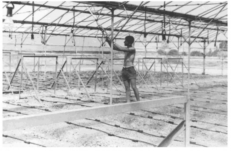 Die erste Tropfbewässerungsanlage in einem alten Gewächshaus, Kibbutz Hatzerim, Israel, 1967. Foto  Netafim.