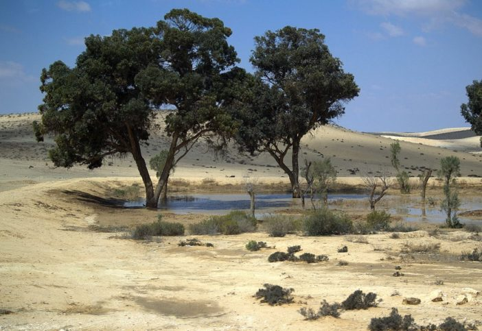 JNF-Bäume in der Negev-Wüste. Künstliche Dünen halten das Regenwasser in Form eines Limans und erschaffen eine Oase. Foto David Shankbone, CC BY 3.0. Wikimedia Commons.