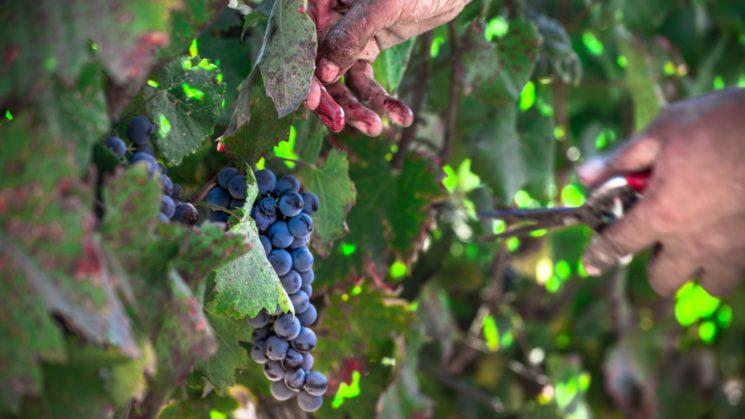 Foto Wine on the Vine