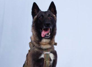 Conan ist ein militärischer Sondereinsatzhund in den USA (Delta Force). Er ist ein belgischer Malinois und wurde wegen seines zotteligen Haares nach Conan O'Brien benannt. Conan nahm an der Razzia teil, die am 27. Oktober 2019 zum Tod von Abu Bakr al-Baghdadi, dem Führer des islamischen Staates, führte. Er verfolgte al-Baghdadi in einen Tunnel, bevor al-Baghdadi seine Selbstmordweste zur Explosion brachte. General Kenneth F. McKenzie Jr. erklärte am 30. Oktober, dass Conan während des Überfalls verletzt wurde, sich aber erholt hat und wieder im Dienst sei. Foto White House, Public Domain, https://commons.wikimedia.org/w/index.php?curid=83474219