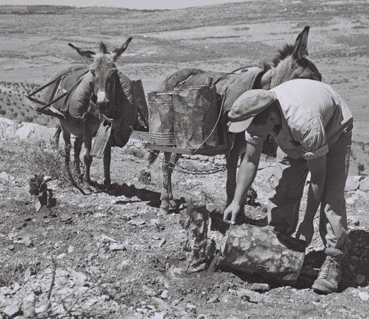 Ein Kibbuz-Mitglied bewässert im April 1947 junge Reben auf dem Hang unterhalb der Siedlung von Kfar Etzion. Foto GPO (Israel), CC BY-SA 3.0, https://commons.wikimedia.org/w/index.php?curid=22807142
